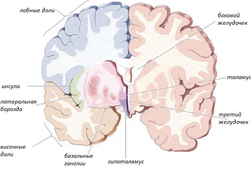 Строение конечного мозга в разрезе