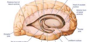 Ядра мозга