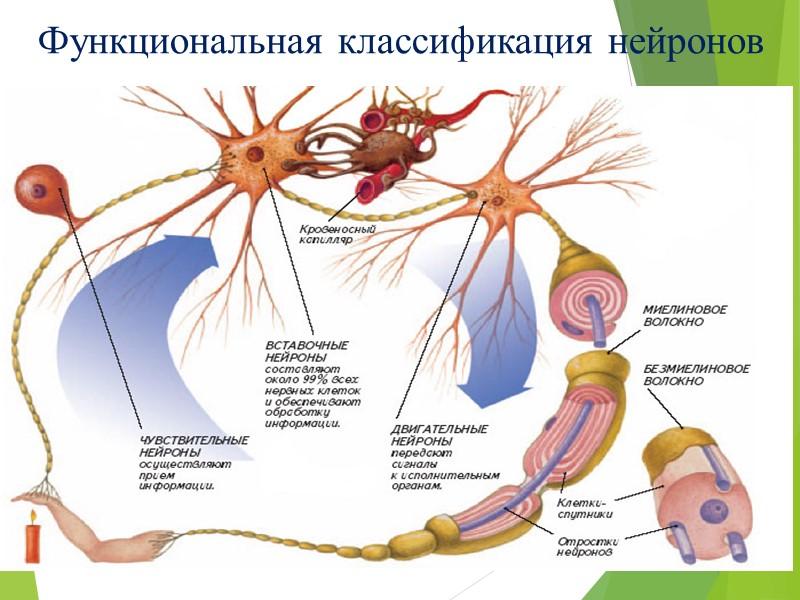 Функциональная классификация нейронов