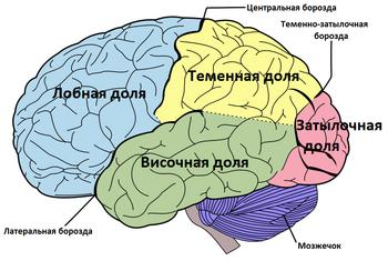 Доли конечного мозга