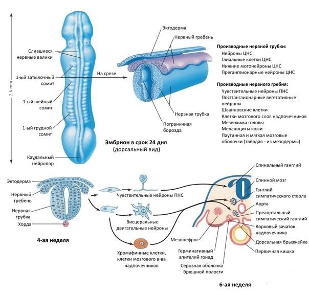 Развитие нервной трубки
