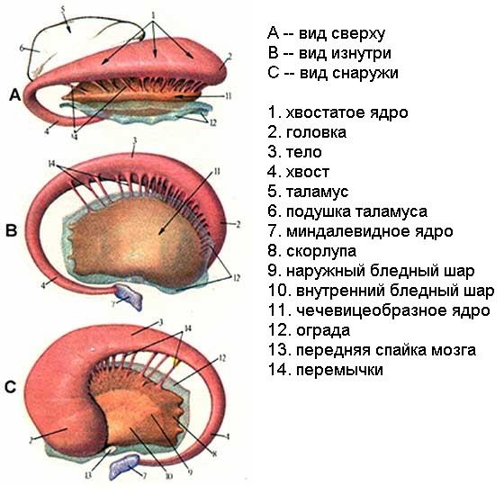 Базальные ядра - вид сверху, изнутри и снаружи