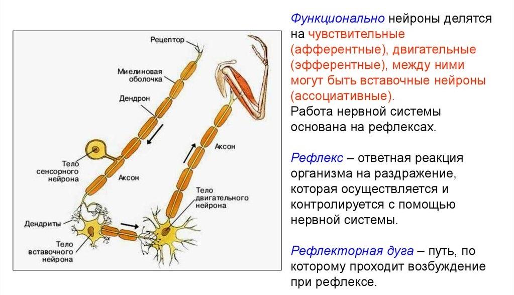 Двигательные и вставочные нейроны