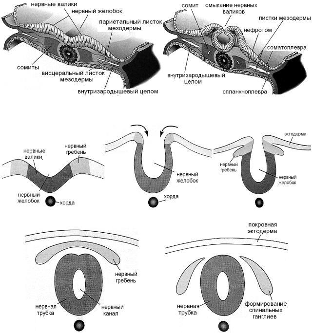 Общая схема формирования нервной трубки