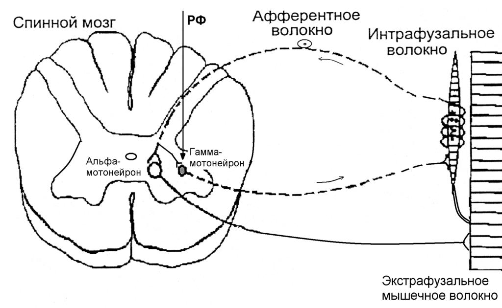 Альфа и гаммма-мотонейроны