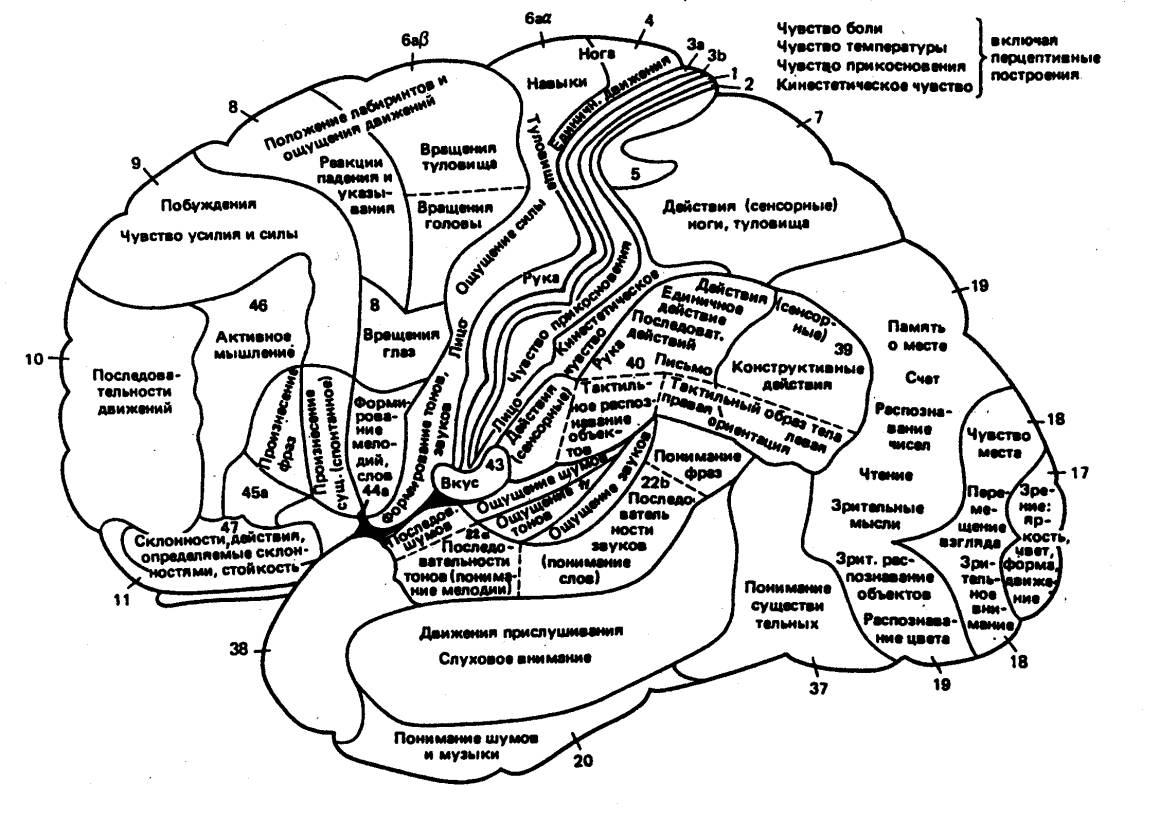 Центры мозга