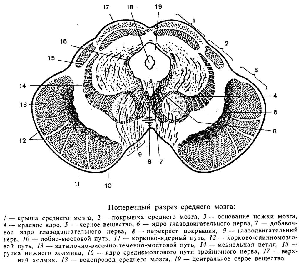 Поперечный разрез среднего мозга