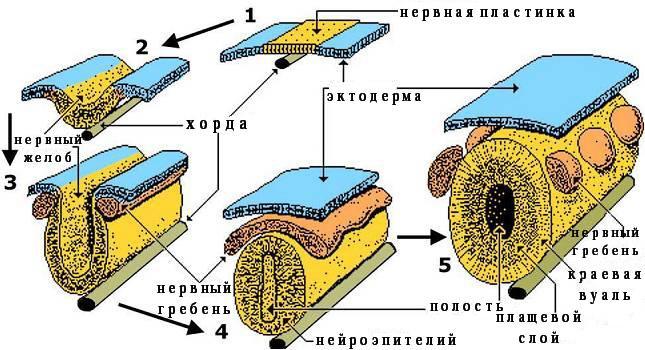 Формирование нервной трубки