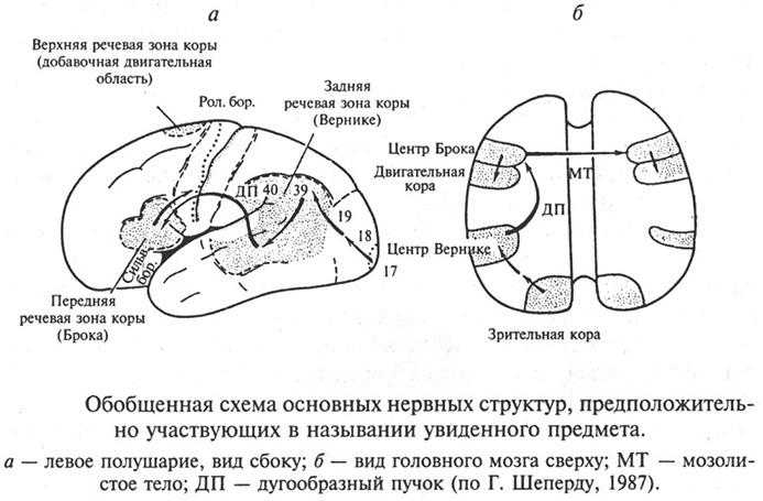 Схема нервных структур, участвующих в назывании предмета