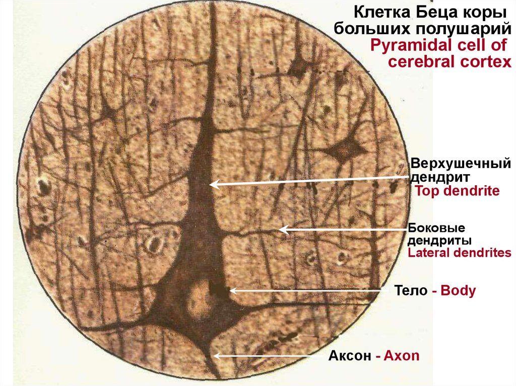 Клетка Беца коры больших полушарий