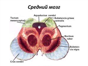 Строение среднего мозга
