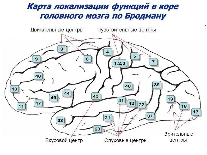 Поля Бродмана