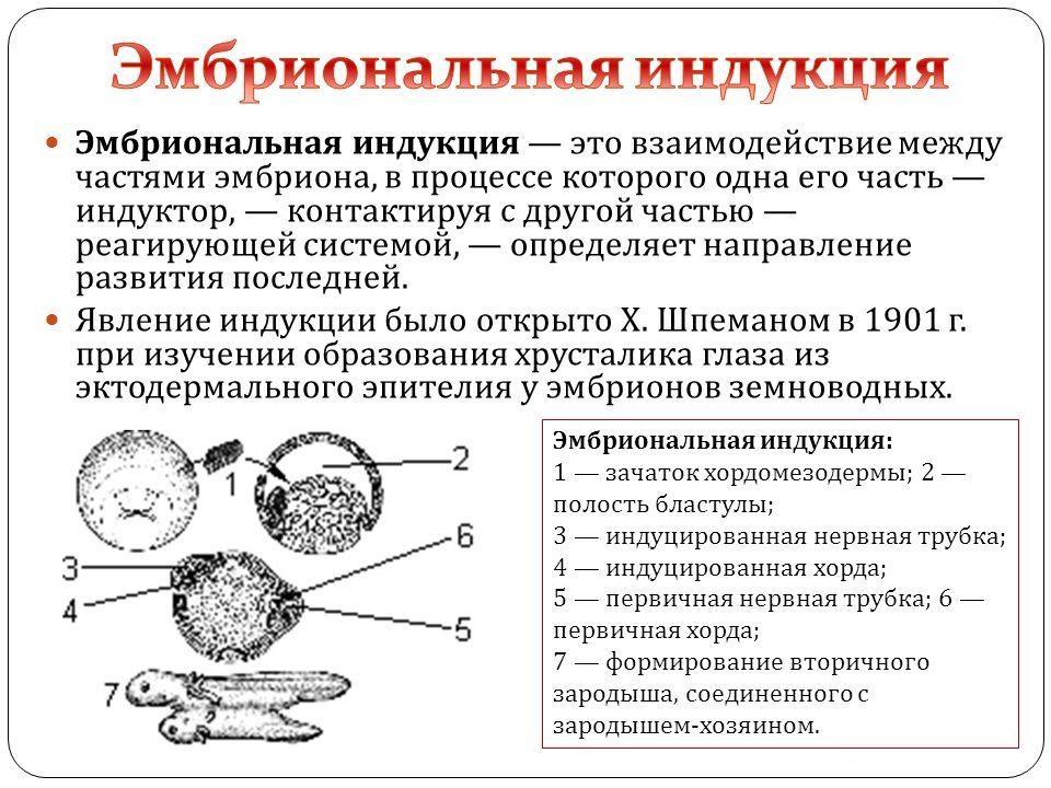 Эмбриональная индукция