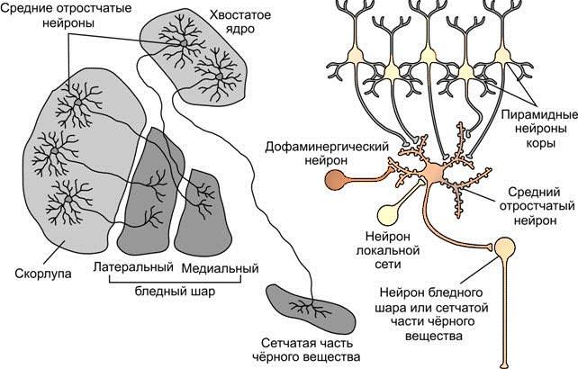 Структура базального ядра