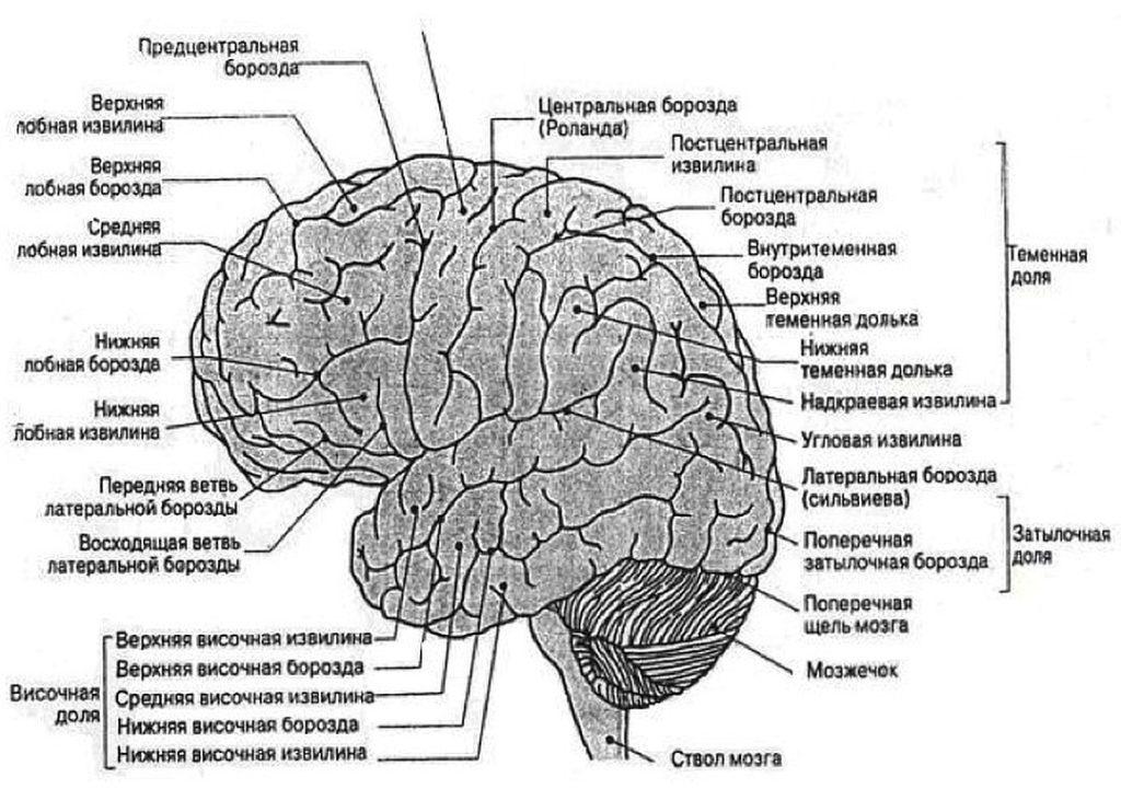 Борозды и извилины мозга