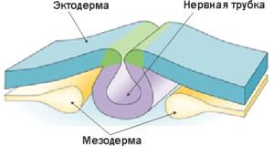 Нервная трубка