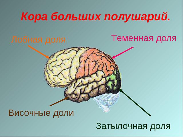 Доли коры головного мозга