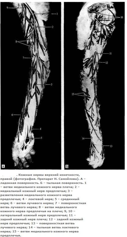 мышечно кожный нерв верхней конечности
