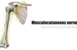 nervus musculocutaneus