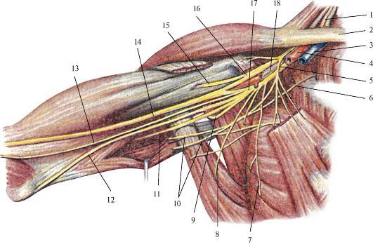 Плечевое сплетение