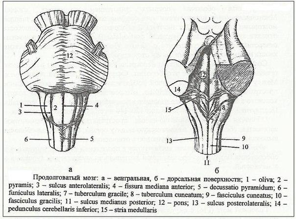 Строение продолговатого мозга