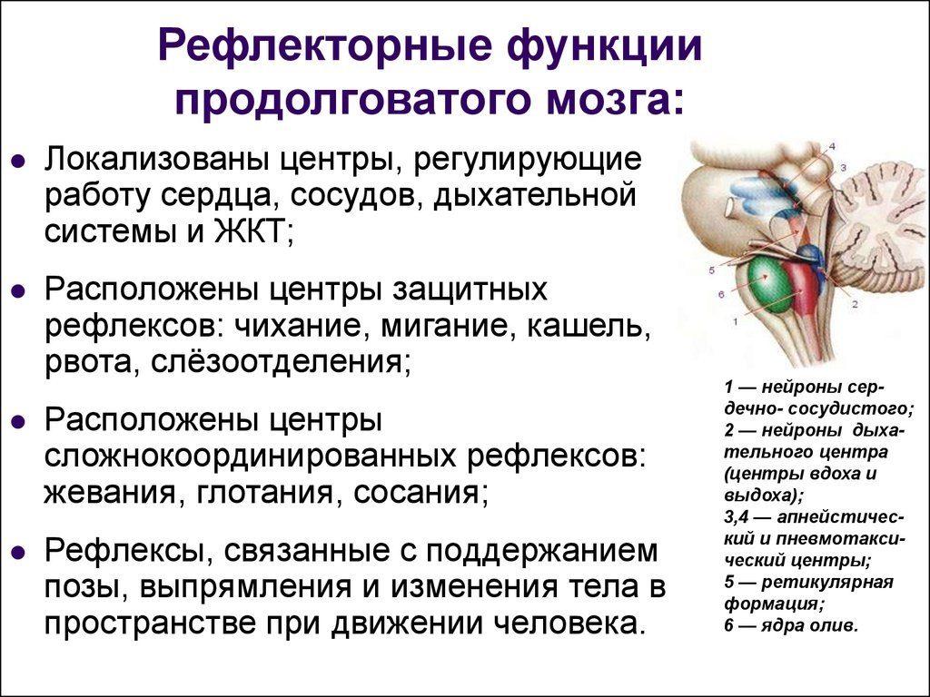 Рефлекторные функции продолговатого мозга